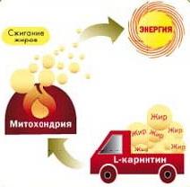 Процесс транспортировки жиров в митохондрии мышечных клеток