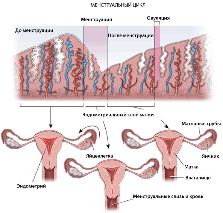 fazy-menstrualnogo-tsykla