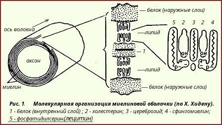 lecitin-nervnoe-volokno